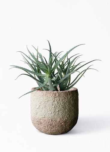 観葉植物 キダチアロエ 8号プラスチック鉢 Coral Pot (コーラルポット)  ホワイト 付き