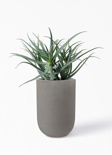観葉植物 キダチアロエ 8号プラスチック鉢 コーディル ミドル  グレー 付き