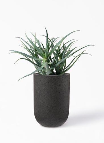 観葉植物 キダチアロエ 8号プラスチック鉢 コーディル ミドル  ブラック 付き