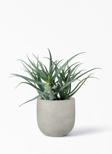 観葉植物 キダチアロエ 8号プラスチック鉢 ラヴァライト Uポット  クリーム 付き