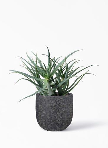 観葉植物 キダチアロエ 8号プラスチック鉢 ラヴァライト Uポット  ブラック 付き