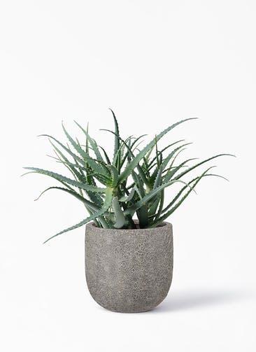 観葉植物 キダチアロエ 8号プラスチック鉢 ラヴァライト Uポット  グレー 付き