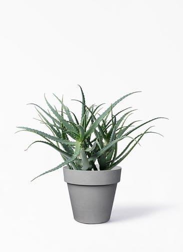 観葉植物 キダチアロエ 8号プラスチック鉢 ライク ラウンド  グレー 付き