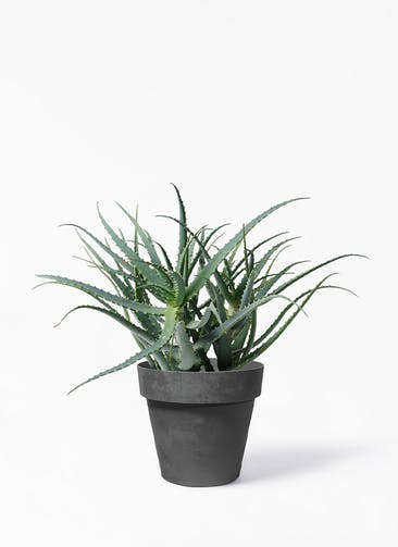 観葉植物 キダチアロエ 8号プラスチック鉢 ライク ラウンド  ブラック 付き