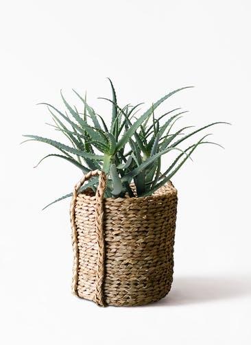 観葉植物 キダチアロエ 8号プラスチック鉢 LushBasket(ラッシュバスケット)  付き