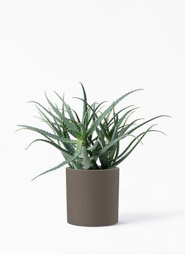 観葉植物 キダチアロエ 8号プラスチック鉢 ポリッシュ シリンダー  ブラウン 付き