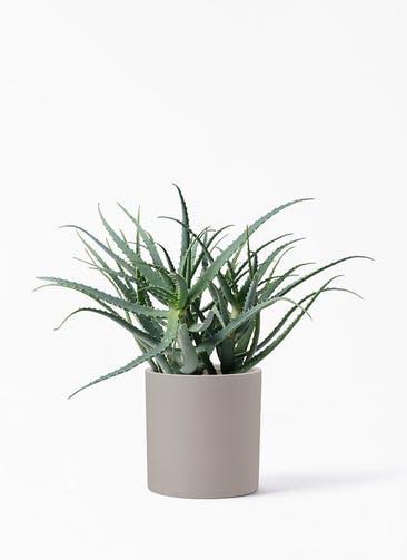 観葉植物 キダチアロエ 8号プラスチック鉢 ポリッシュ シリンダー  クリーム 付き