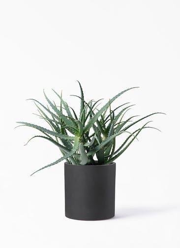 観葉植物 キダチアロエ 8号プラスチック鉢 ポリッシュ シリンダー  チャコール 付き