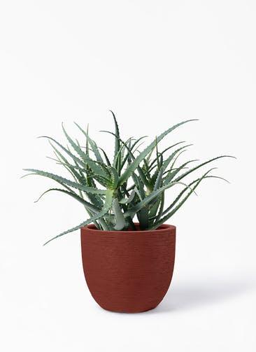 観葉植物 キダチアロエ 8号プラスチック鉢 ヴォークス ラウンド  ロッソ 付き
