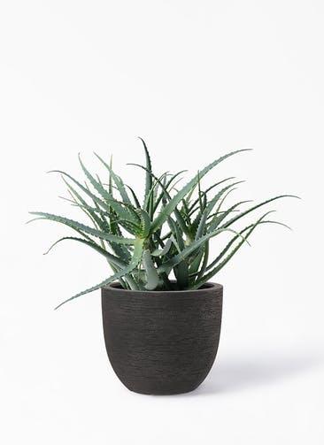 観葉植物 キダチアロエ 8号プラスチック鉢 ヴォークス ラウンド  ネロ 付き