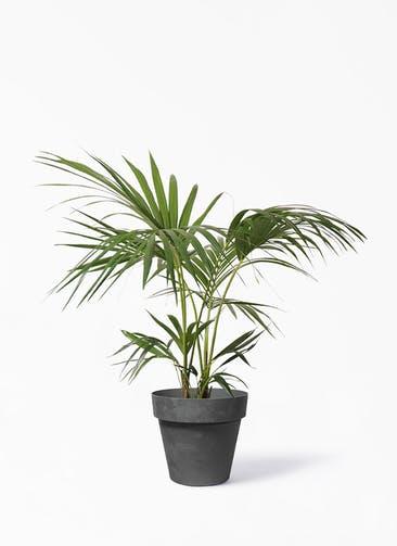 観葉植物 ケンチャヤシ 8号 ライク ラウンド  ブラック 付き