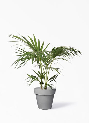 観葉植物 ケンチャヤシ 8号 ライク ラウンド  グレー 付き