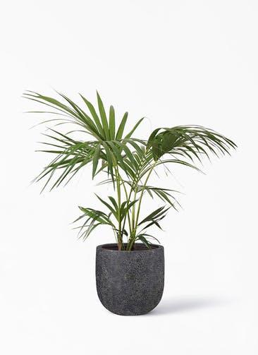 観葉植物 ケンチャヤシ 8号 ラヴァライト Uポット  ブラック 付き