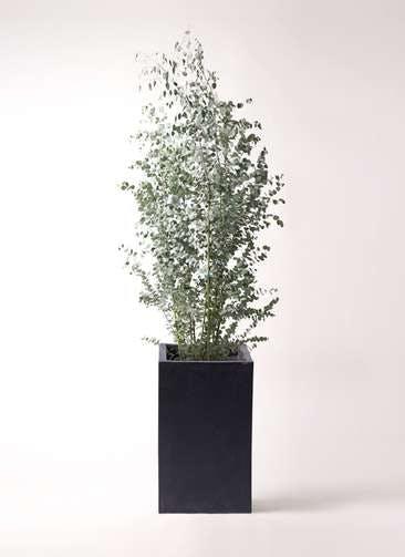 観葉植物 ユーカリ 10号 グニー セドナロング 墨 付き