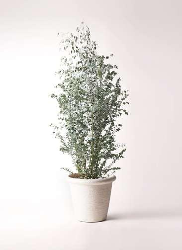 観葉植物 ユーカリ 10号 グニー ビアスリムス 白 付き