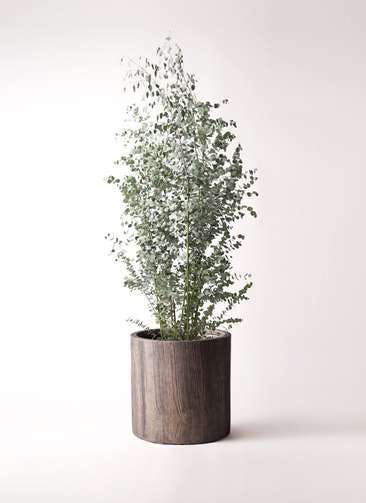 観葉植物 ユーカリ 10号 グニー アルファシリンダープランター 付き