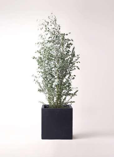 観葉植物 ユーカリ 10号 グニー ベータ キューブプランター 黒 付き