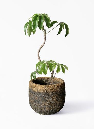 観葉植物 ツピダンサス 8号 曲がり Coral Pot (コーラルポット)  ブラック 付き