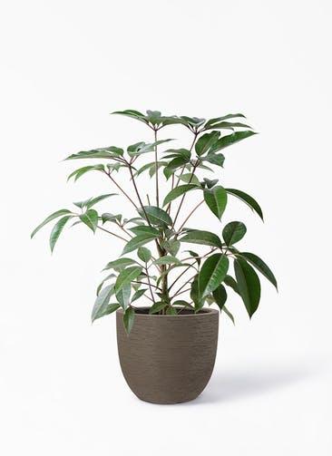 観葉植物 ツピダンサス 8号 ボサ造り ヴォークス ラウンド  マキアート 付き