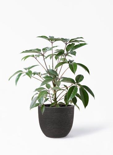 観葉植物 ツピダンサス 8号 ボサ造り ヴォークス ラウンド  ネロ 付き