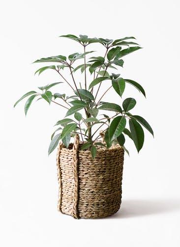 観葉植物 ツピダンサス 8号 ボサ造り LushBasket(ラッシュバスケット)  付き