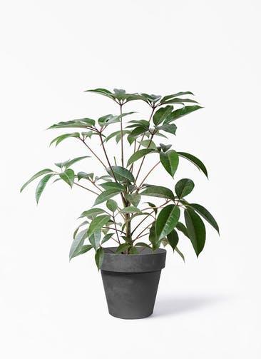観葉植物 ツピダンサス 8号 ボサ造り ライク ラウンド  ブラック 付き