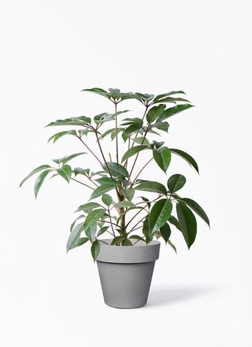 観葉植物 ツピダンサス 8号 ボサ造り ライク ラウンド  グレー 付き