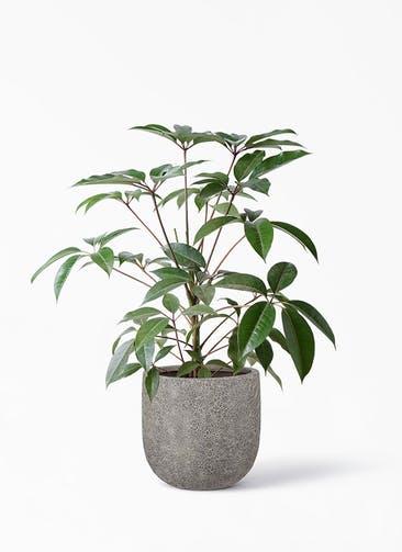 観葉植物 ツピダンサス 8号 ボサ造り ラヴァライト Uポット  グレー 付き