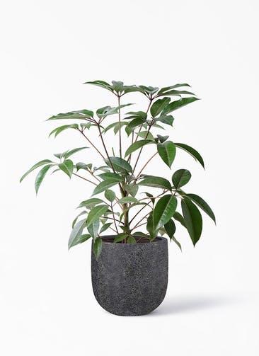 観葉植物 ツピダンサス 8号 ボサ造り ラヴァライト Uポット  ブラック 付き