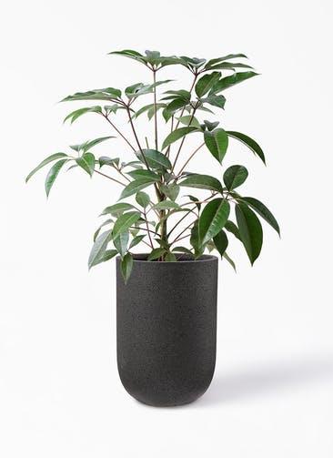 観葉植物 ツピダンサス 8号 ボサ造り コーディル ミドル  ブラック 付き