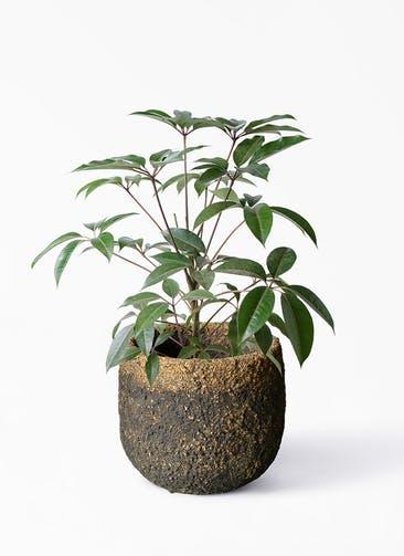 観葉植物 ツピダンサス 8号 ボサ造り Coral Pot (コーラルポット)  ブラック 付き