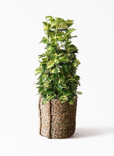 観葉植物 ポトス 8号 LushBasket(ラッシュバスケット)  付き