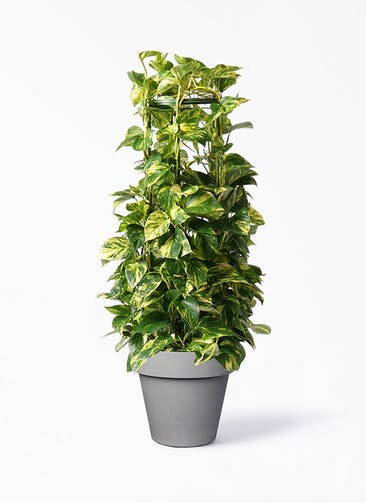 観葉植物 ポトス 8号 ライク ラウンド  グレー 付き