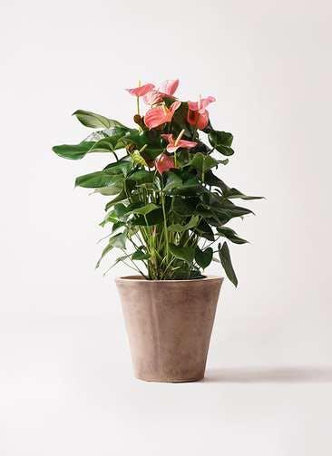 観葉植物 アンスリウム 10号 ピンクチャンピオン ルーガ アンティコ ソリッド 付き
