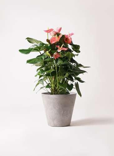 観葉植物 アンスリウム 10号 ピンクチャンピオン アートストーン ラウンド グレー 付き