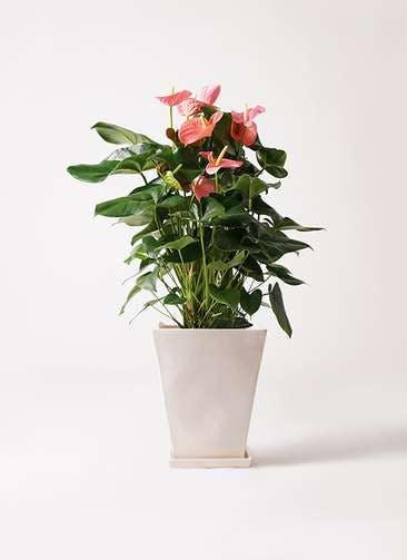 観葉植物 アンスリウム 10号 ピンクチャンピオン スクエアハット 白 付き