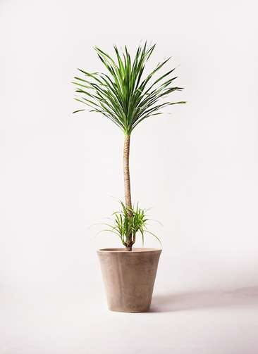 観葉植物 ドラセナ カンボジアーナ 10号 ルーガ アンティコ ソリッド 付き