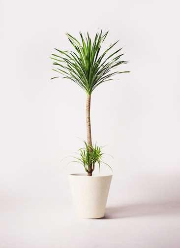観葉植物 ドラセナ カンボジアーナ 10号 フォリオソリッド クリーム 付き