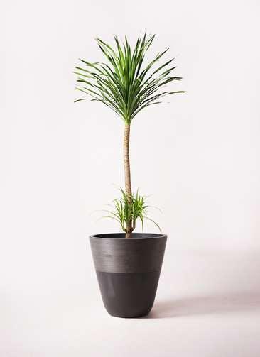 観葉植物 ドラセナ カンボジアーナ 10号 ジュピター 黒 付き