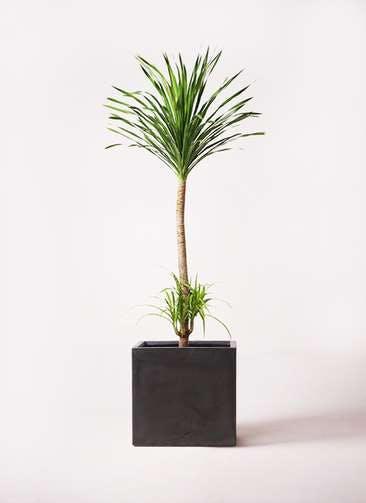 観葉植物 ドラセナ カンボジアーナ 10号 ファイバークレイ キューブ 付き