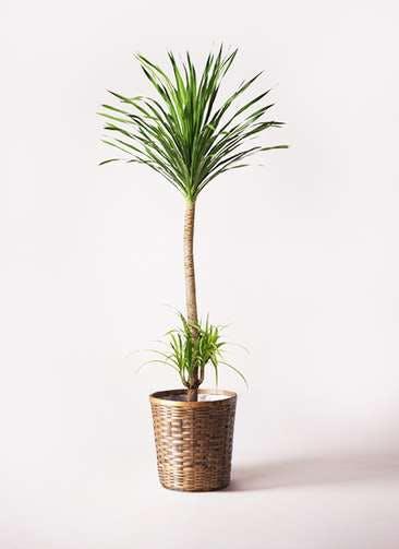 観葉植物 ドラセナ カンボジアーナ 10号 竹バスケット 付き