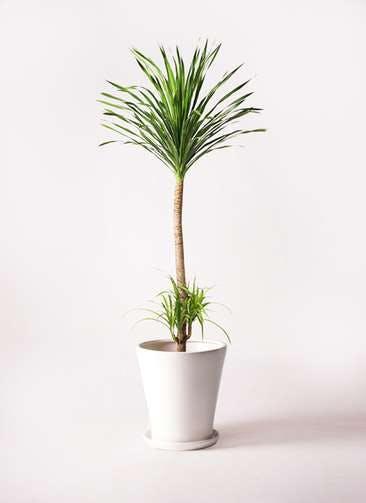 観葉植物 ドラセナ カンボジアーナ 10号 サブリナ 白 付き