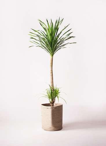 観葉植物 ドラセナ カンボジアーナ 10号 リブバスケットNatural 付き