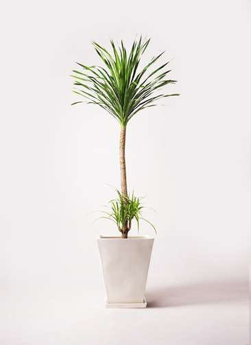 観葉植物 ドラセナ カンボジアーナ 10号 スクエアハット 白 付き