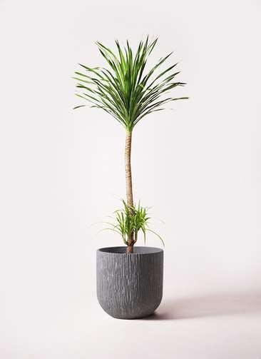 観葉植物 ドラセナ カンボジアーナ 10号 カルディナダークグレイ 付き