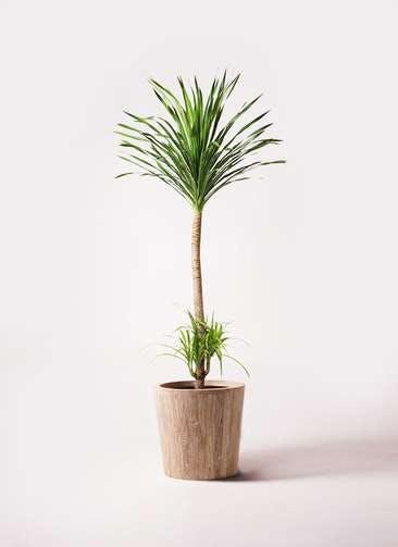 観葉植物 ドラセナ カンボジアーナ 10号 ウッドプランター 付き