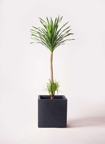 観葉植物 ドラセナ カンボジアーナ 10号 ベータ キューブプランター 黒 付き