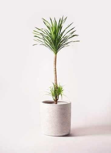 観葉植物 ドラセナ カンボジアーナ 10号 サンディ シリンダー 白 付き