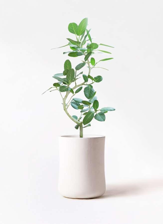 観葉植物 フィカス ベンガレンシス 8号 曲り バスク ミドル ホワイト 付き