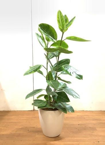 観葉植物 フィカス アルテシーマ 【130cm】 フィカス アルテシーマ 8号 #34742  ラスターポット付き